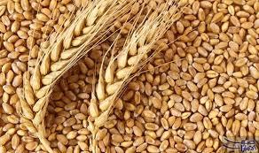 القمح والشعير