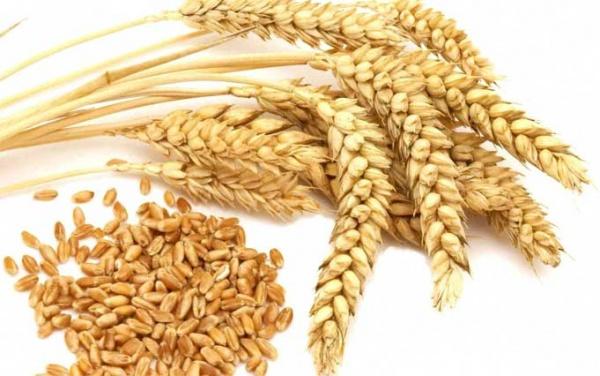 مشتريات ايران من القمح المحلي تقترب من 8 ملايين طن موقع التجار www.alttejarat.com