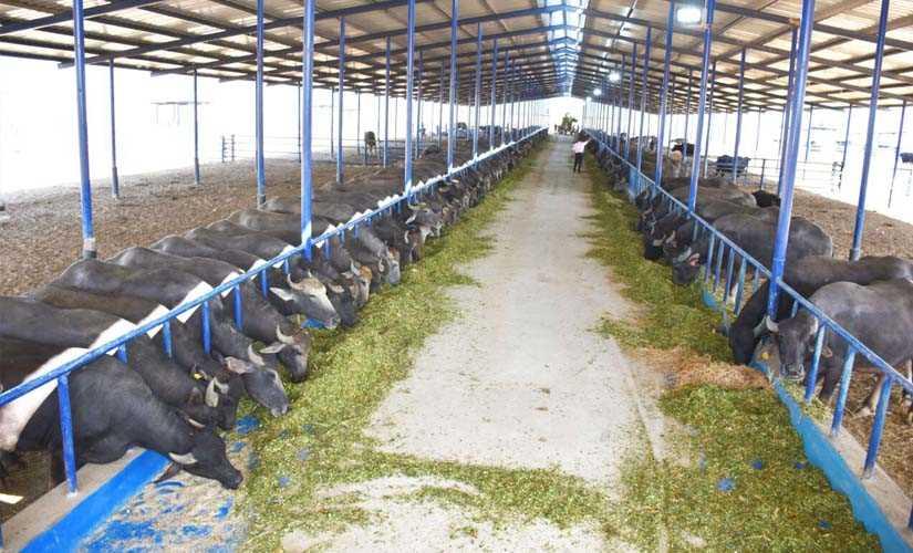مزرعة المواشي